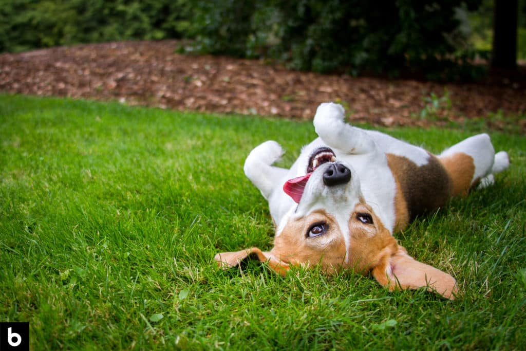 This is the cover photo for our Best Grass for Dogs in 2021 article. It features a white and brown terrier rolling on green grass with a garden in the background.