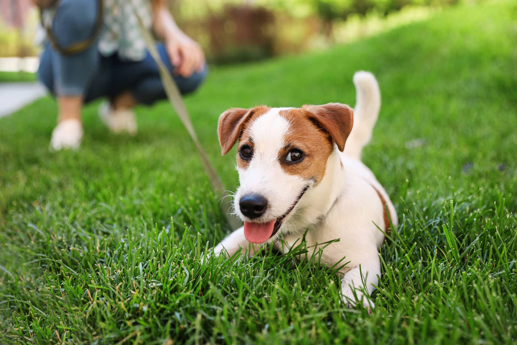 This is the cover photo for our Best Grass for Dogs article. It features a white and grown puppy dog laying on green grass.